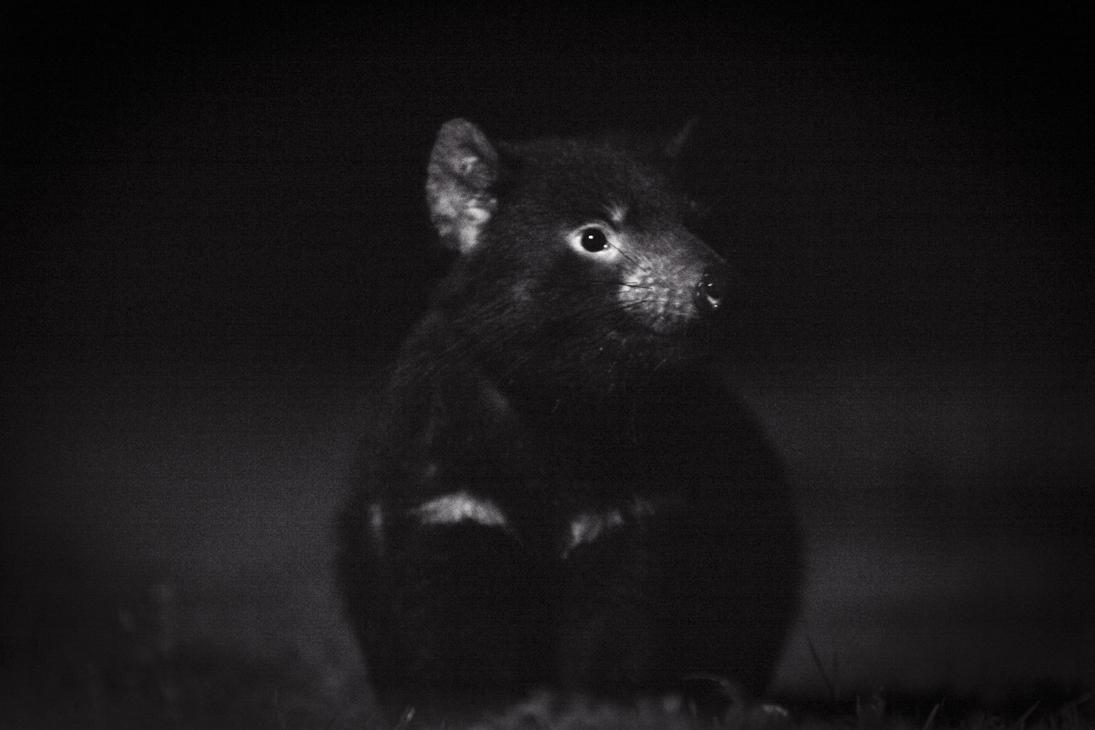 Wild Tasmanian Devil, Simon Mustoe, Wildiaries