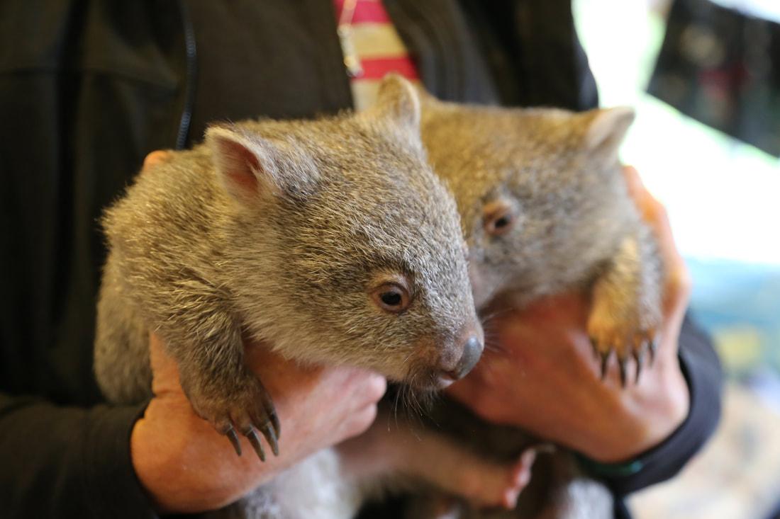 Wombats, Flinders Island