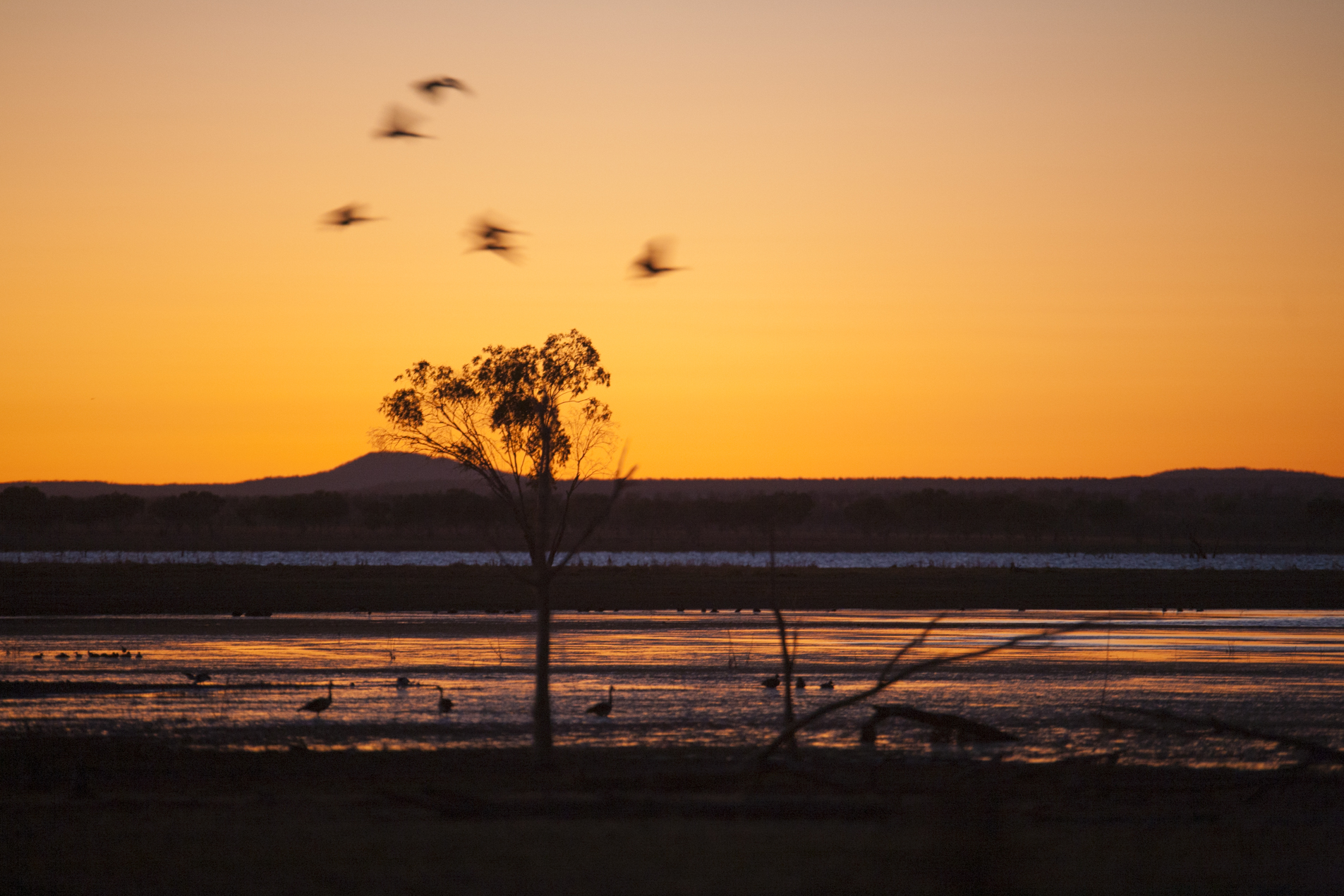 Sunrise with whistling ducks and Magpie Geese on Lake Argyle