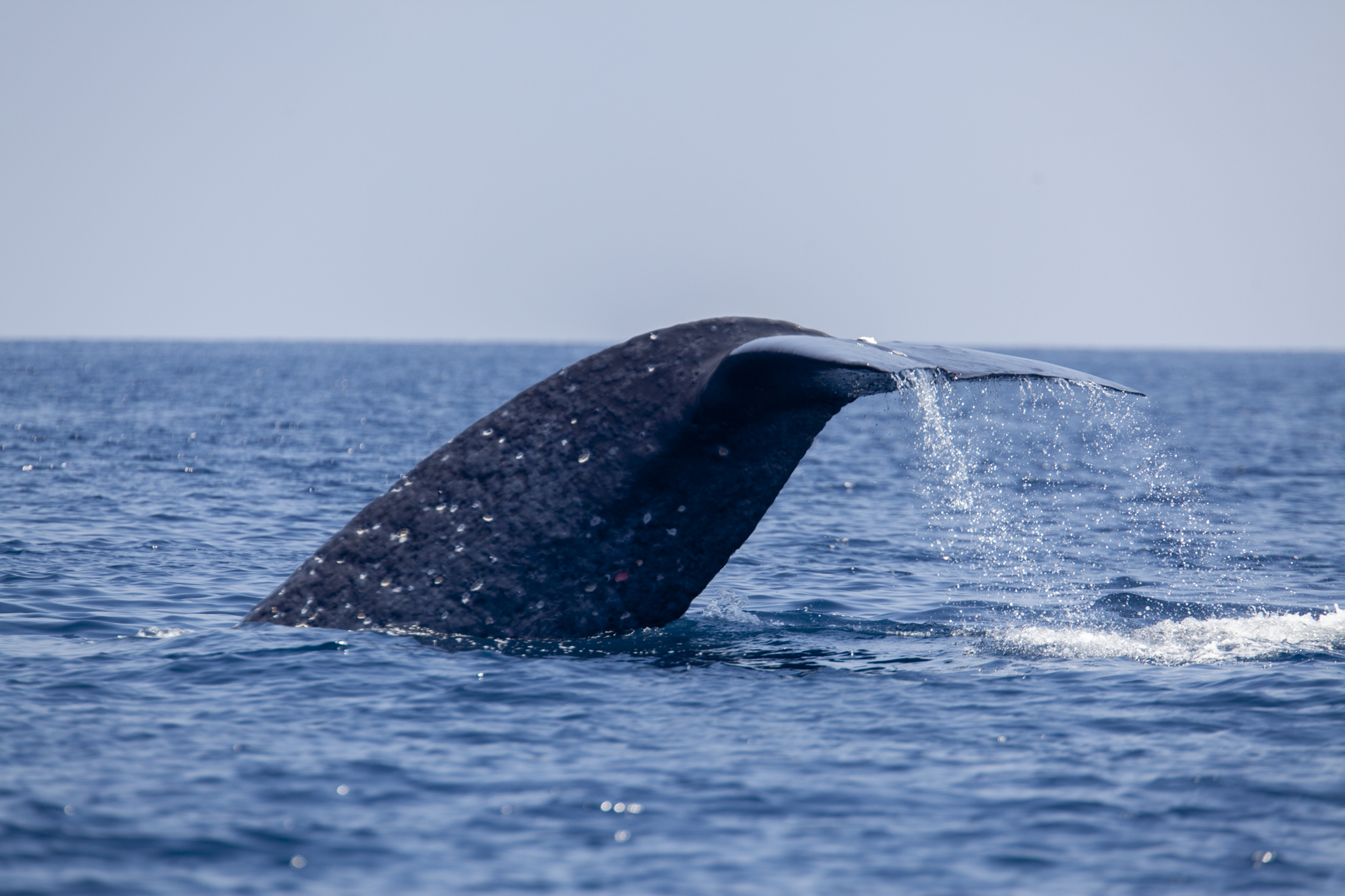 Blue Whale, Banda Sea