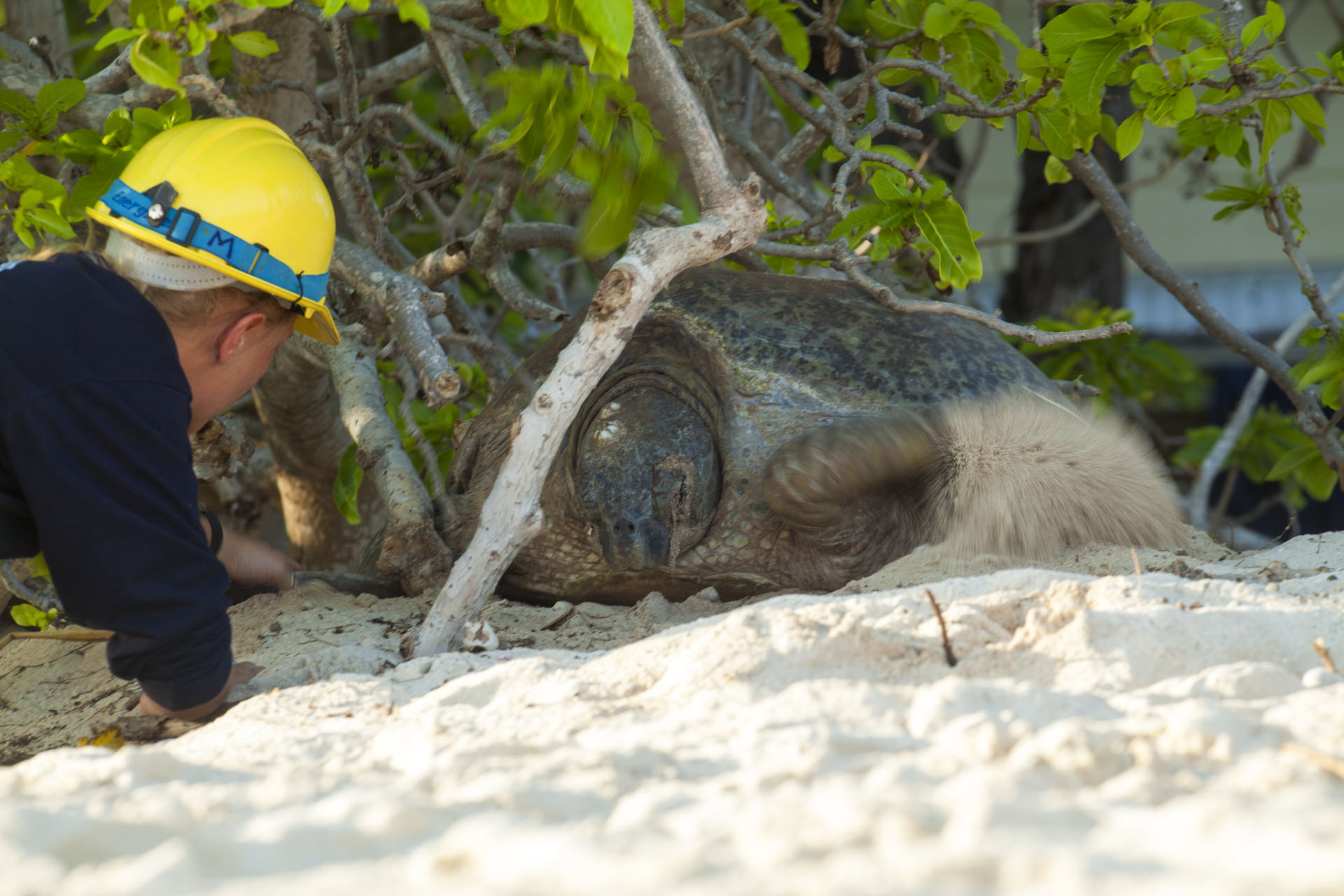 A Queensland government turtle conservation officer checks the turtle's flipper band. Identifying individuals has helped them understand the population biology in detail so they have the data to issue early warnings if there is any cause for alarm.