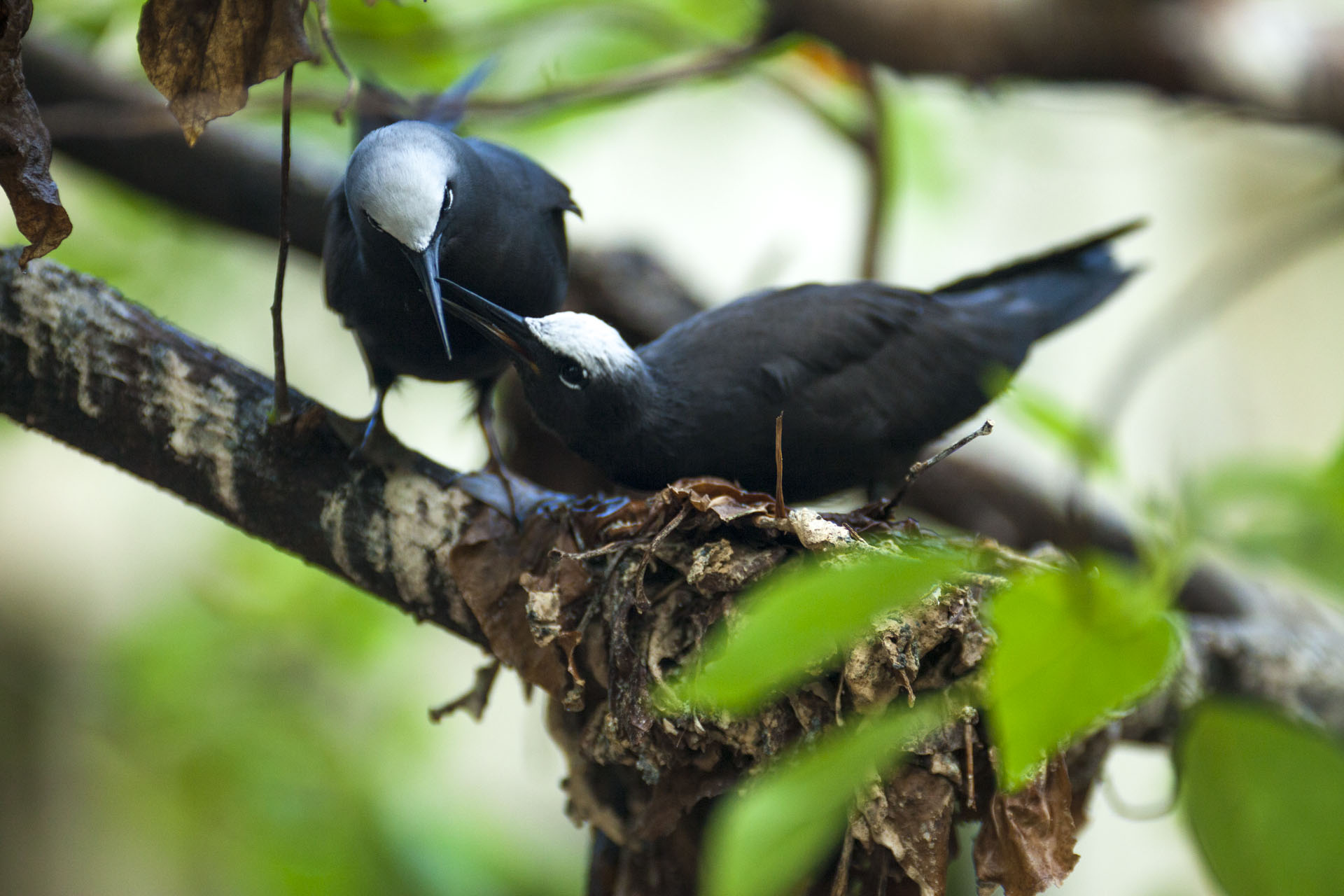 Black Noddies are tree-nesting. They are essential for the nutrient processes that support the island's vegetation.