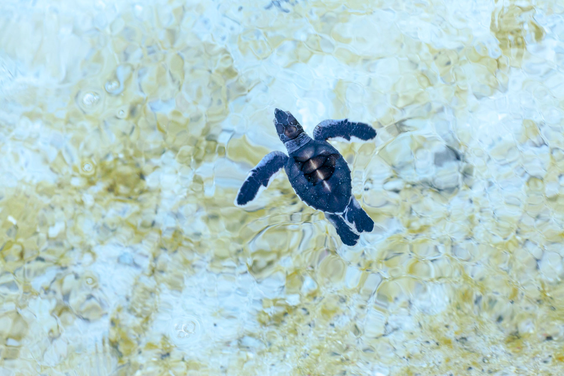 Turtles born on Heron Island are mostly females because the deep sand is quite warm. Sex is determined by incubation temperature (climate change suddenly poses this most unique challenge for an animal that has existed for millions of years).